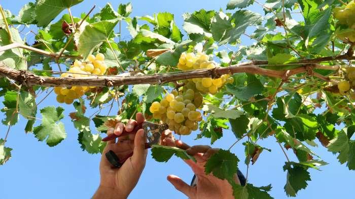 tipos-de-uvas-brancas