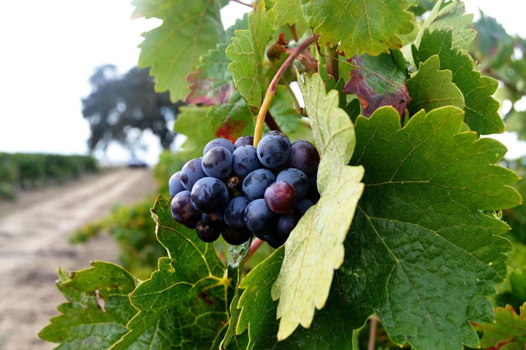 conheça a uva trincadeira