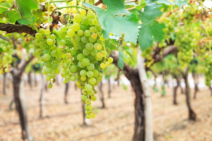 conheça a uva torrontés