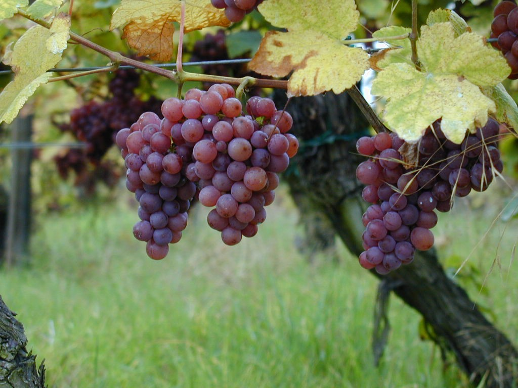 Gewurztraminer conheça a uva