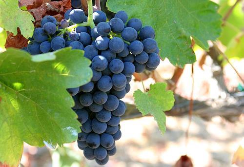 uva shiraz syrah conheça a uva