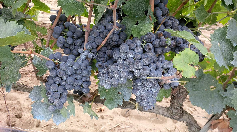 conheça a uva: nero di troia