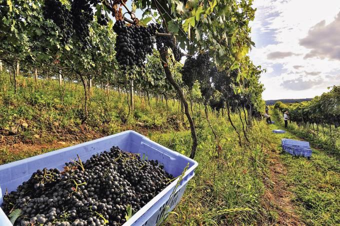 Rio Grande do Sul promete safras de vinho de qualidade internacional - FOTO MADURA