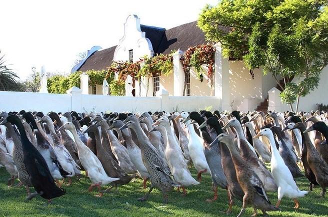 Vinícola libera exército de 1.600 patos para conter pragas