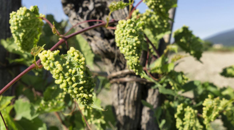 Filoxera: a praga que quase extinguiu o vinho do mundo