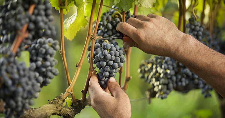 Técnicas que revolucionaram o mundo do vinho