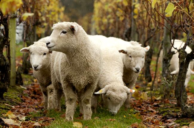 Como animais selvagens e domésticos ajudam na viticultura