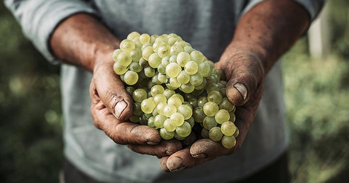 Bagaço da Chardonnay promove saúde imunológica
