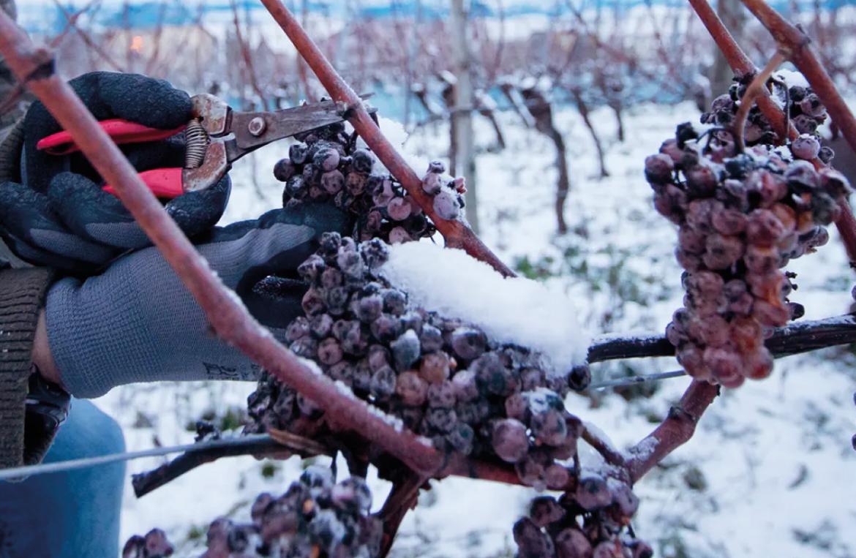 Ice Wine: o vinho do gelo feito a partir de uvas colhidas a -10º C